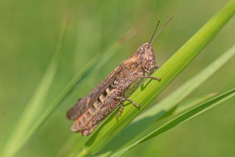 Heuschrecke, die auf Blatt im Gras sitzt stockfotos