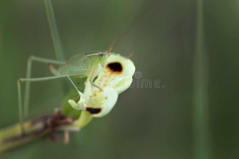 Heuschrecke, die auf einer Blumenknospe sitzt lizenzfreie stockfotografie