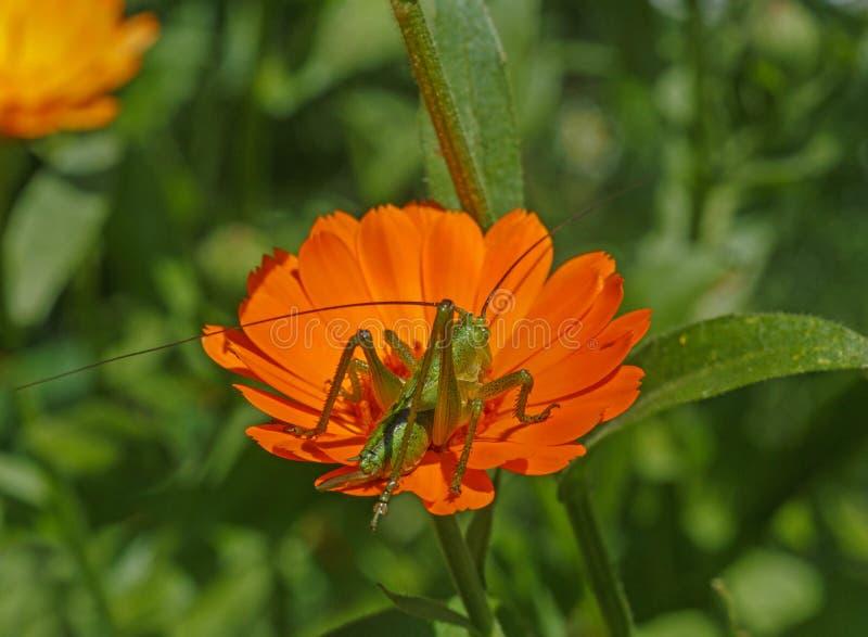 Heuschrecke, die auf Ringelblume sitzt stockbilder