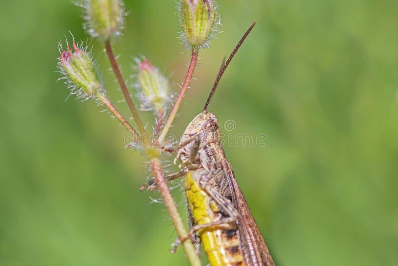 Heuschrecke, die auf Stamm der wilden Blume sitzt lizenzfreie stockfotos