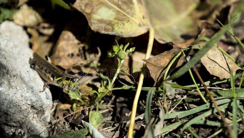 Heuschrecke, die Blatt mit den Händen essen Naturhintergrund hält lizenzfreies stockbild