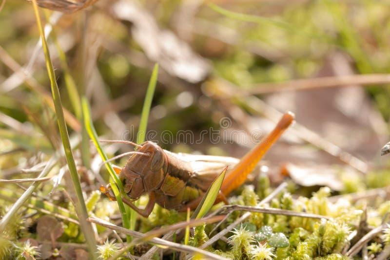 Heuschrecke, die morgens grünes Gras isst lizenzfreie stockfotografie