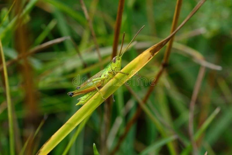Heuschrecke im Gras lizenzfreies stockfoto
