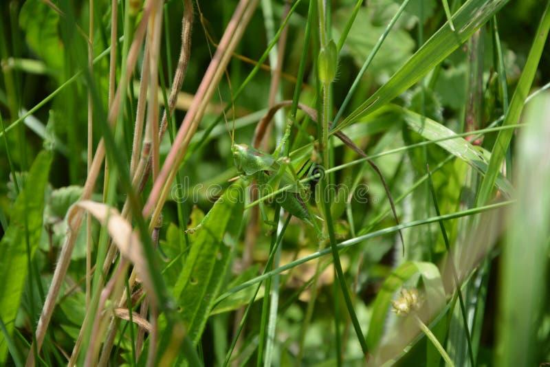 Heuschrecke mit kurzen Flügeln gut in der Verkleidung im Gras lizenzfreies stockfoto