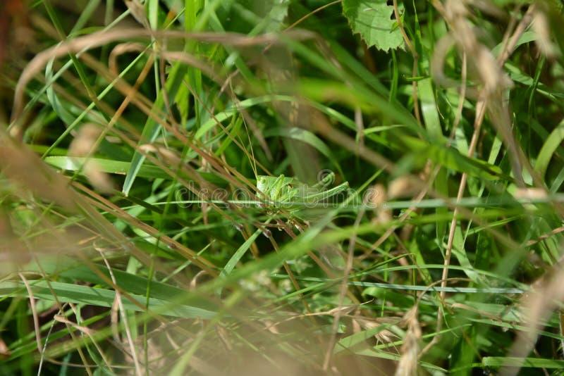 Heuschrecke mit kurzen Flügeln gut in der Verkleidung im Gras stockfotografie