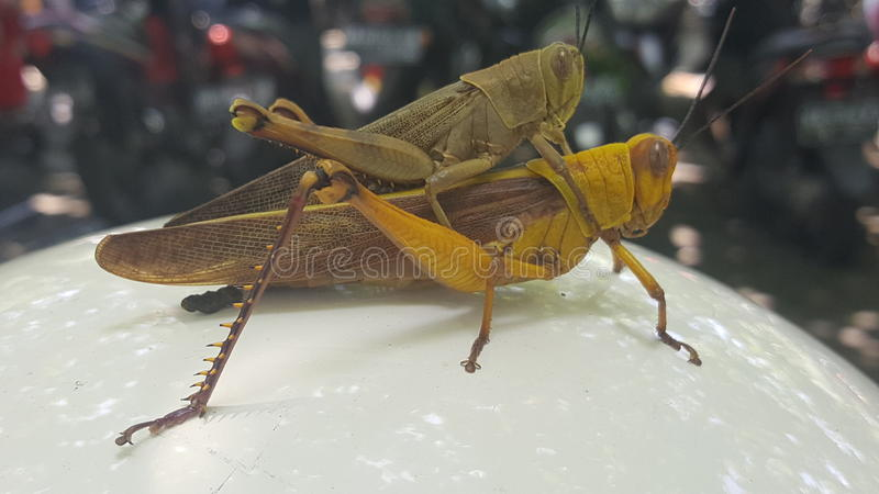 Heuschrecke mit zwei Insekten lizenzfreie stockfotografie