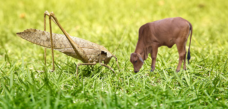 Heuschrecke, Heuschrecke und eine Jungbulle, ein Fleisch fressendes Tier und ein Herbivore, der Nutzen und schädigt lizenzfreie stockfotografie