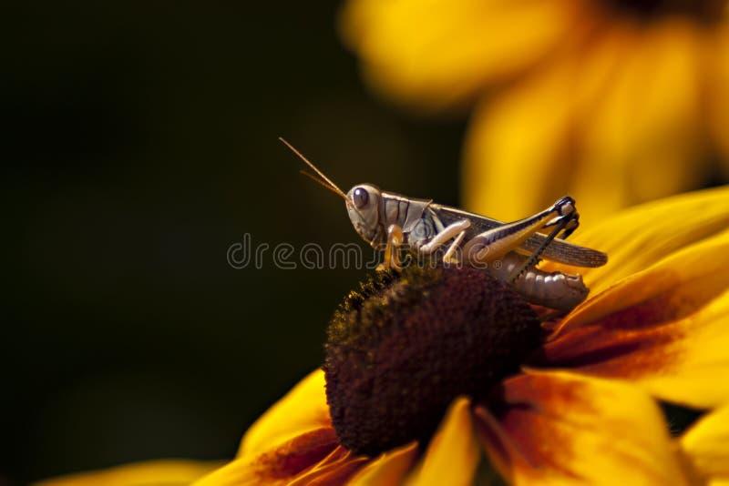 Heuschrecken-Nahaufnahme auf Sonnenblume lizenzfreie stockfotografie