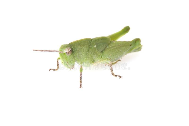 Heuschrecken-Seitenansicht lizenzfreies stockbild