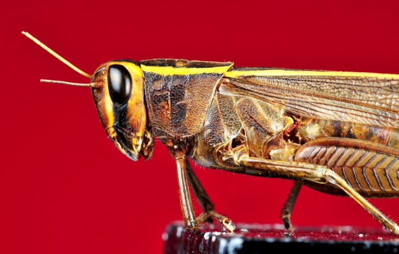 Heuschreckendetail stockfotos