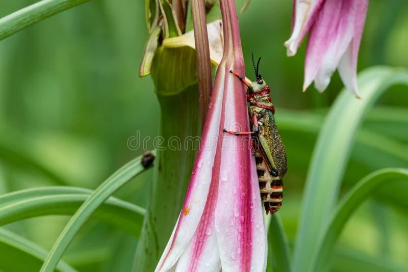 Heuschreckenplageblumenzerstörungs-Naturinsekt stockbild
