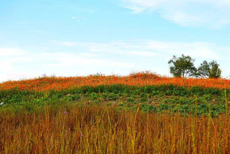 Heuvel en het overzees van chrysant stock foto