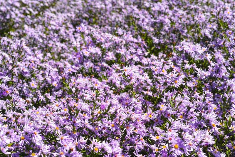 Heuvel en het overzees van chrysant royalty-vrije stock foto