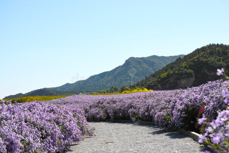 Heuvel en het overzees van chrysant royalty-vrije stock foto's