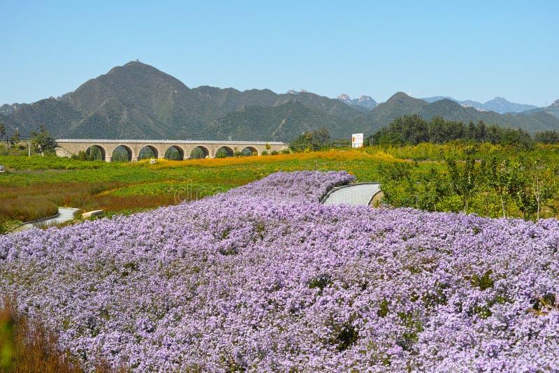 Heuvel en het overzees van chrysant royalty-vrije stock fotografie