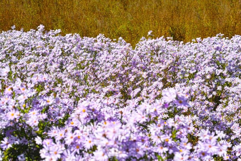 Heuvel en het overzees van chrysant royalty-vrije stock afbeelding