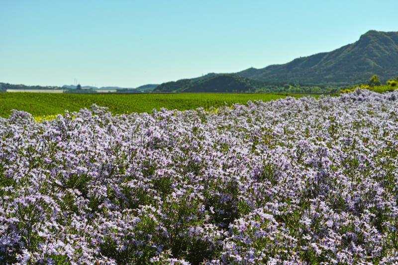 Heuvel en het overzees van chrysant stock afbeeldingen