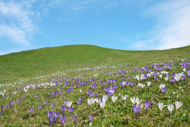 Heuvelig landschap met bloeiende de lentekrokus royalty-vrije stock afbeelding
