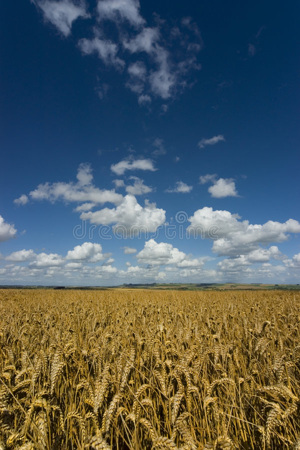 Heuveltje neer met rijp graangewassengewas royalty-vrije stock afbeelding