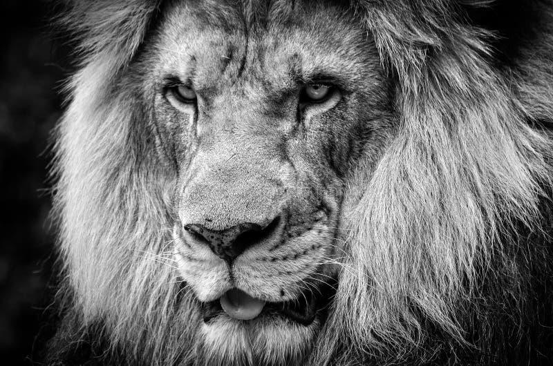 Hevig staar van een krachtige mannelijke Afrikaanse leeuw in zwart-wit stock foto