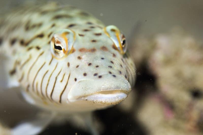 hexoppthalma parapercis sandperch玷污了 库存照片