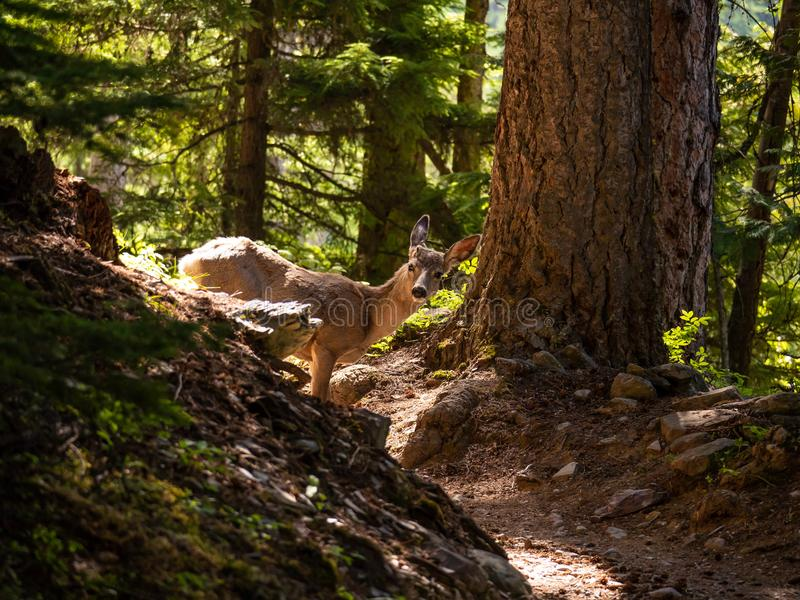 Hey Camera, What are You Looking At?. A young female deer seems to not mind the camera on Sperry Trail in Glacier National Park, Montana on a beautiful spring royalty free stock photo