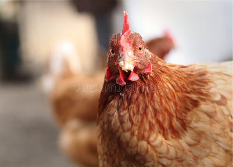 Hey, que é seu problema? Expressão engraçada da galinha doméstica no jardim Cara interrogativa do animal de exploração agrícola F foto de stock