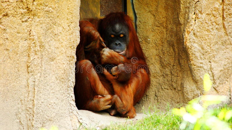 Hi baby. Orangutans Malayan `orang` `utan` - `forest man`, Latin Pongo - the genus of tree anthropoid apes, one of the most closely related to human homology DNA royalty free stock photography