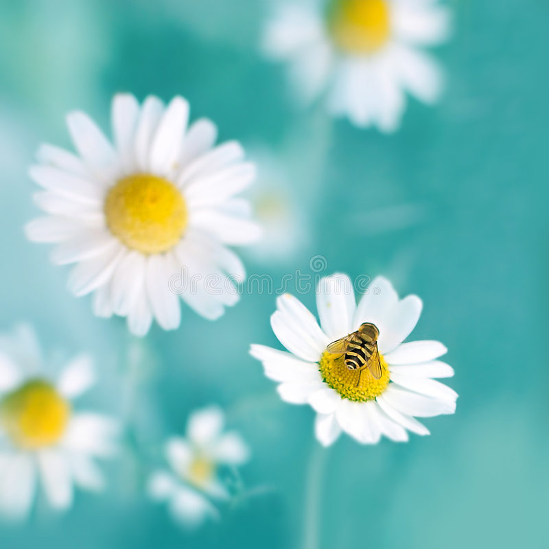 Download Hi, camomiles stock photo. Image of flower, camille, chrysanthemum - 5125938