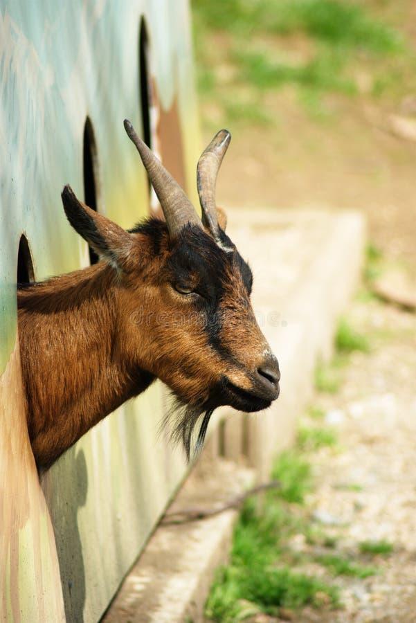 Hi, i am Goat stock photography