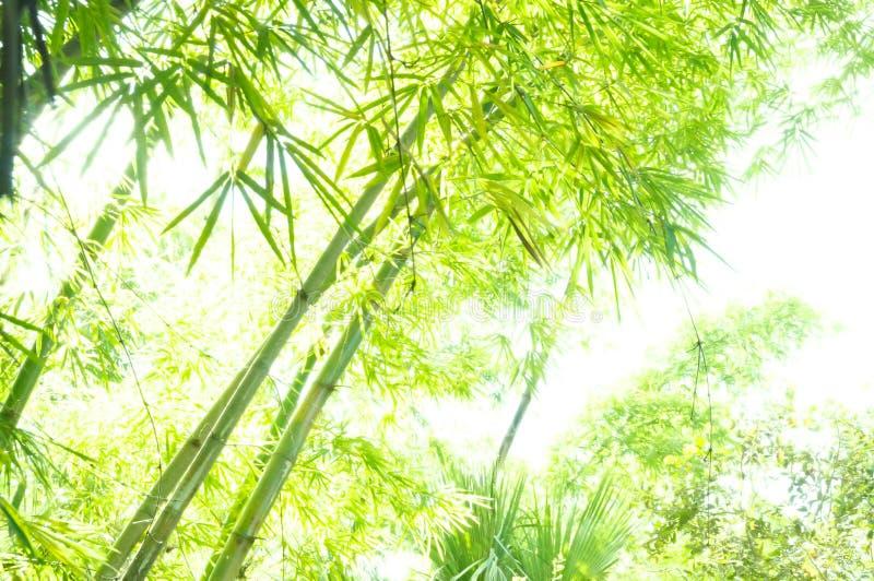 Hi Key Bamboo Stock Photography