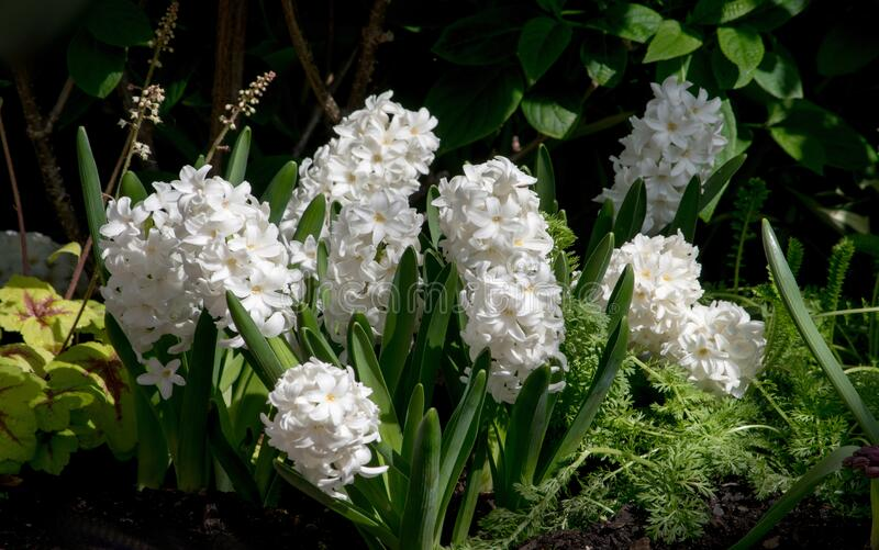 Hiacintos primaverales floreciendo en un jardín imagen de archivo