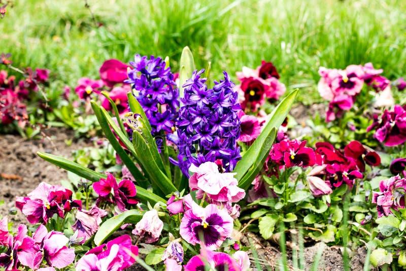 hiacyntów kwiatów wiosna fotografia royalty free