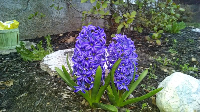 Hiacynt w Ogrodowych Królewskich purpurach zdjęcia stock