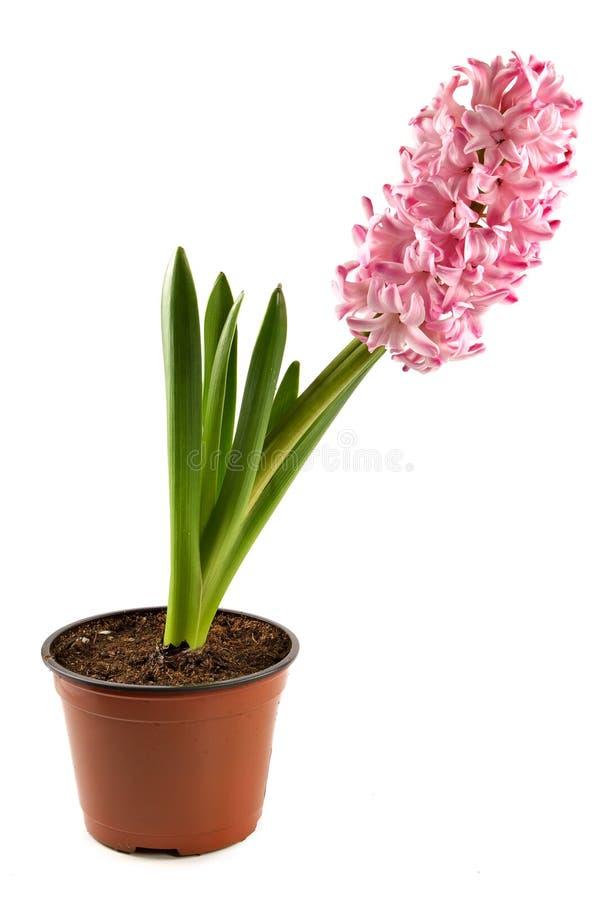 hiacyntowa salowa dekoracyjna roślinnych obraz royalty free