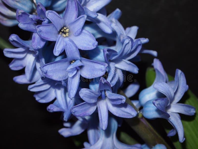 Hiacyntowi kwiaty zdjęcia stock