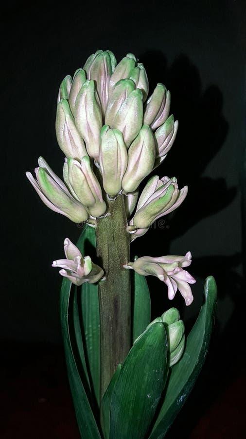 Hiacyntu pączek stopniowo kwitnie w wiośnie fotografia stock