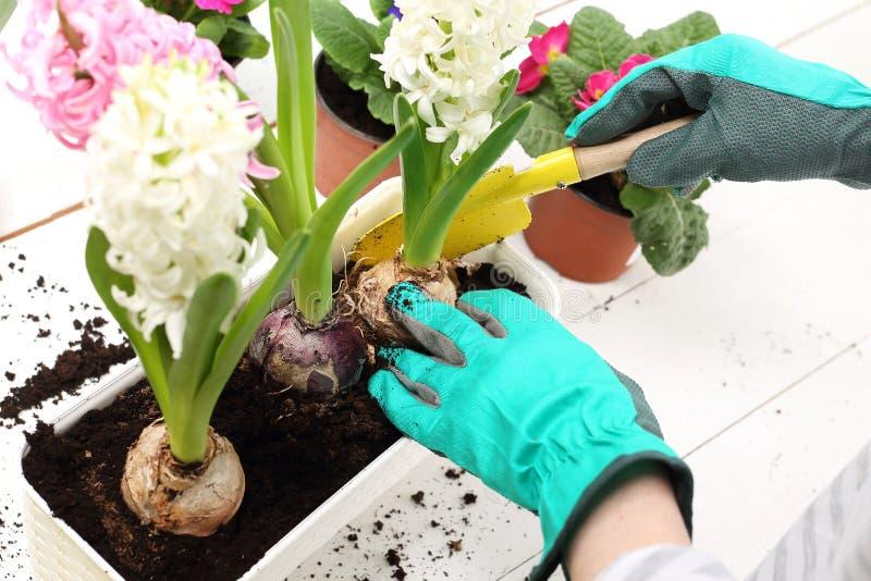 Hiacynty, wiosna kwiatu przygotowania fotografia royalty free