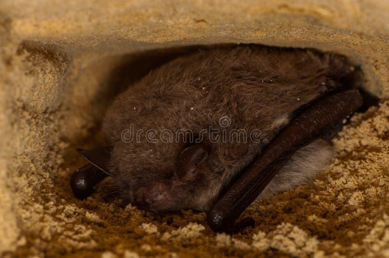 Hibernating Bat Myotis royalty free stock photo