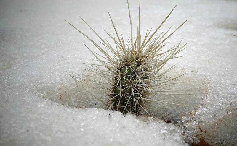 Hibernating in the open ground cacti, in the spring under the sn. Ow, Ukraine stock image