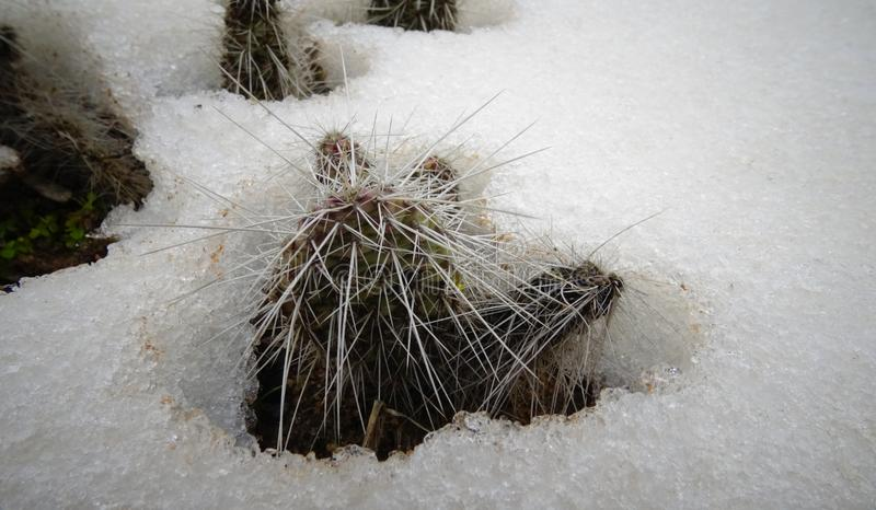 Hibernating in the open ground cacti, in the spring under the sn. Ow, Ukraine royalty free stock image