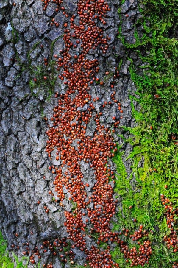 Hiberner des coccinelles sur un chêne photographie stock libre de droits