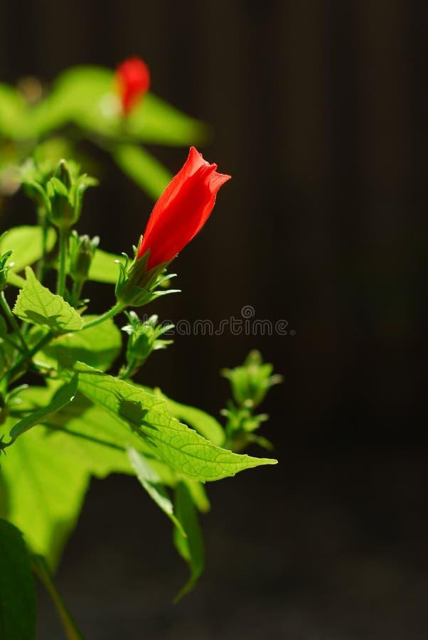 Hibicus. Hibiscus flower bud and torus royalty free stock image