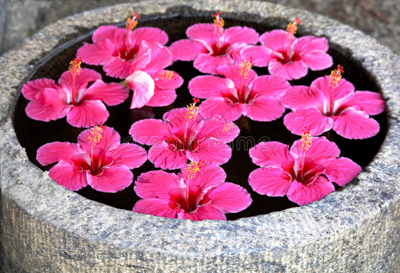 Download Hibicus Bright Pink Fluted Flower Floating Feature Stock Image - Image: 21327767