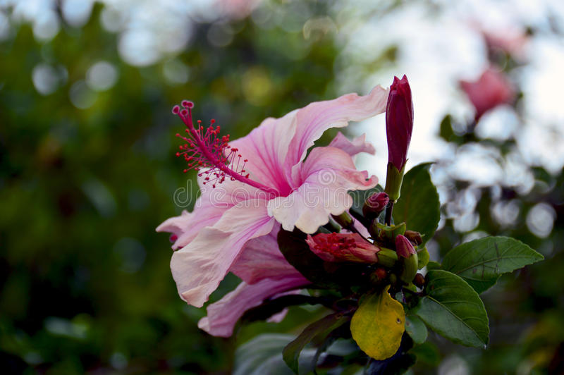 Hibicus Rosa Sinensis flower stock photography