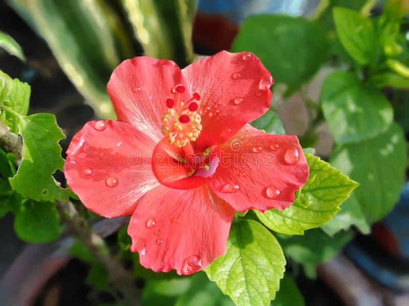 hibicus in tuin royalty-vrije stock fotografie