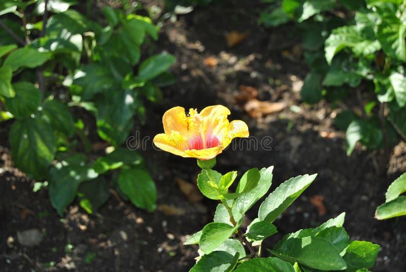 Hibisco amarillo de la cara 2 fotos de archivo libres de regalías