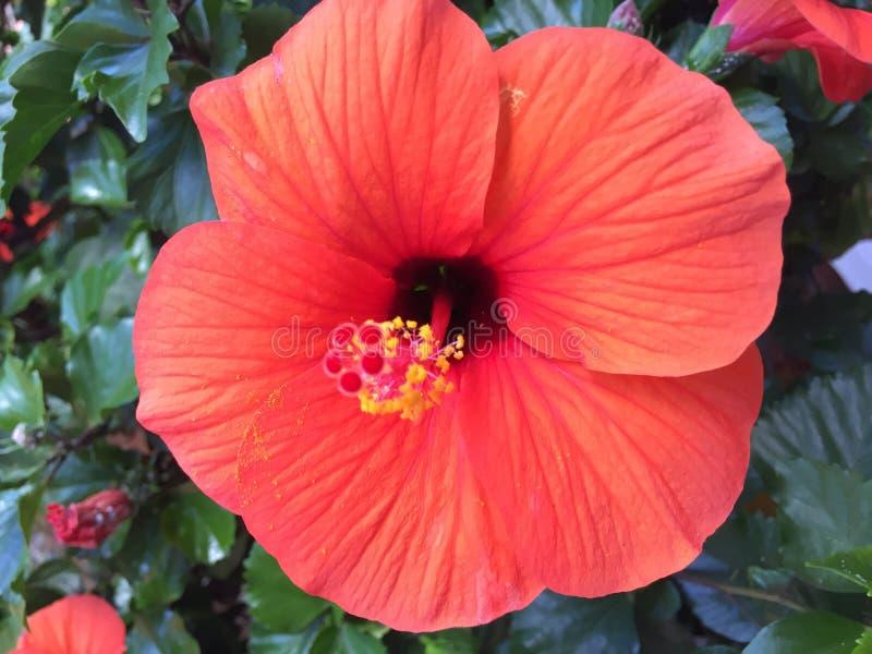 Hibisco anaranjado brillante en el ajuste tropical del jardín foto de archivo libre de regalías