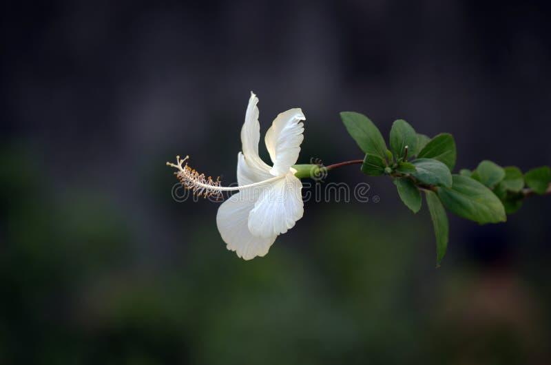 Hibisco de la flor fotografía de archivo