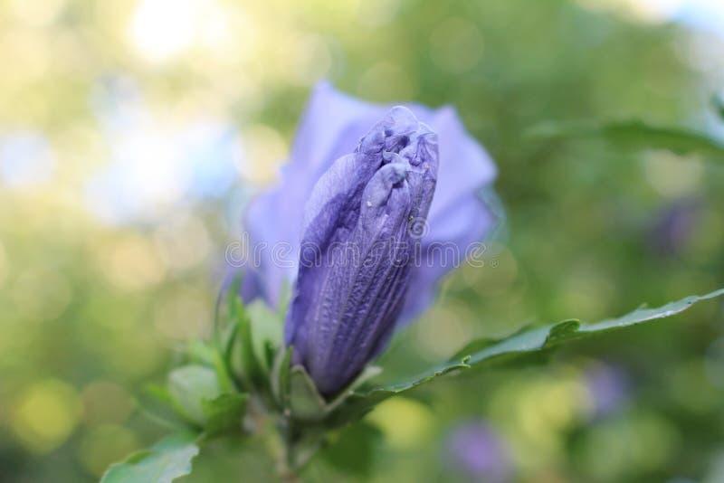 Hibisco de la lila imagen de archivo libre de regalías